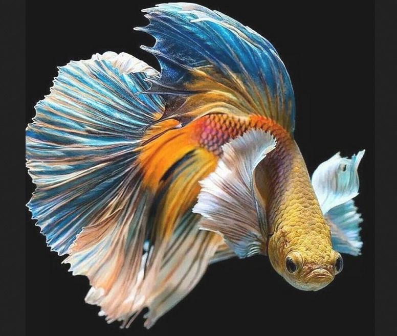 Kisah-Unik-Ikan-Cupang